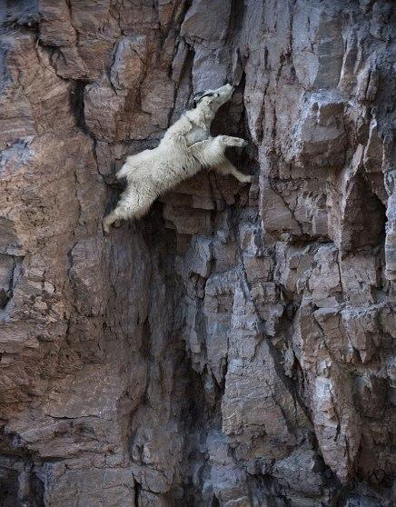 mountain goat niche